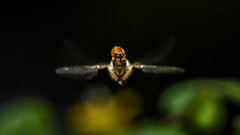 The Flying Butt... (chandra.nitin) Tags: animal diptera flying green hoverfly insect insects macro nature tiny winged yellow newdelhi delhi india