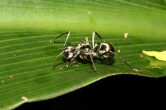Hymenoptera sp (Ant) - Singapore (Nick Dean1) Tags: hymenoptera animalia arthropoda arthropod hexapoda hexapod insect insecta ant singapore dairyfarmnaturepark