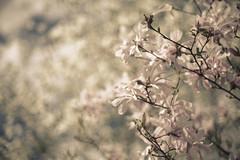 * (elisachris) Tags: kirschblüte cherryblossom natur nature blumen flowers manuallens bokeh rokkor rokkormd 50mm 12 sonya7 hanami