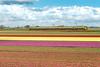 2017.04.28_12175_Keinse_VIRM 8637 (rcbrug) Tags: tulip flowerbulbs bloembollen bollenveld keinse kopvannoordholland virm verbouwd 8637