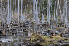 Can You Find Both Geese? (Conrad Kuiper) Tags: canon sigma 7dmkii hullett trees geese swamp marsh