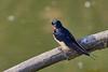Metallic Blue (amedeo700) Tags: tuscany uccelli cacciafotografica toscana bird birds italy italia uccello birdwhatching rondine swallow
