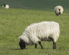 Sheep Grazing (grahambrown1965) Tags: ricohimagingcompanyltdpentaxk3ii smcpentaxda60250mmf4edifsdm pentax starlens 14converter 60250mm sussex eastsussex foredown foredownwalk sussexdowns downs countryside animal animals sheep ewe ewes fleece grazing smcpda60250mmf4edif ricoh k3ii