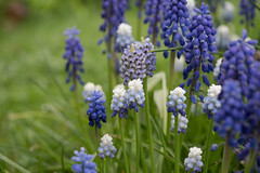 Gemischte Traubenhyazinthen im Regen - Mixed grape hyacinths in the rain (riesebusch) Tags: berlin garten marzahn