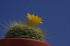 IMGP2090 (superpagliaccio) Tags: grassa fiore cactacee giallo