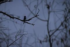 Dreams of spring (Anxious Silence) Tags: haddenham winter tree nature plant silhouette magpie corvid bird