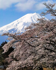 2017 Fuji and Sakura (shinichiro*) Tags: 20170425sdq4098 2017 crazyshin sigmasdquattro sdq sigma1770mmf284dcmacrohsm april spring fuji 河口湖 lakekawaguchi sakura cherryblossoms 34271741796 candidate