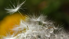 Seeds and drops (Ⓨ a s m i n e Ⓗ e n s +4 900 000 thx❀) Tags: seeds drops macro 7dwf 7dayswithflickr yellow green nature natural hensyasmine dandelion