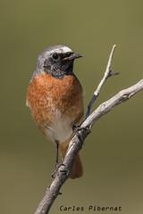 Cotxa cuarroja, Colirrojo reAL, Redstart (Phoenicurus phoenicurus). Male (Carles Pibernat) Tags: