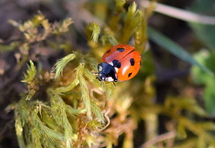 coccinnelle (nadineblanchard) Tags: insecte nature coccinelle