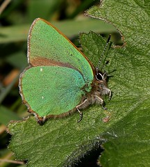 Green Hairstreak (Jillandcamera) Tags: greenhairstreak butterfly donnanook lincs