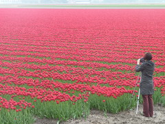 Catching the red moment, Holland (Ciska van Geer) Tags: netherlands tulips noordoostpolder tulpen tulpenvelden tulpenroute