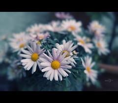 The Leucanthemum Effect (Photofreaks [Thank you for 2.000.000 views]) Tags: flowers spring focus dof bokeh frhling leucanthemum margeriten adengs wwwphotofreaksws shopphotofreaksws