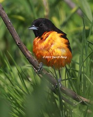 Baltimore-oriole-spring-adult-male_0996 (Warbler_King) Tags: orioles baltimoreoriole chicagobirds baltimoreorioleadultmale