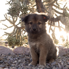 Grizzly Bear (Immature Animals) Tags: arizona cactus rescue plants baby black cute animal puppy succulent desert tucson stones tan adorable az marshall pima derek bark chow paws cactii chowchow koalition pacc derekmarshall immatureanimals