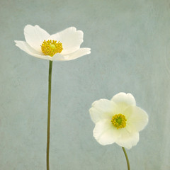 Two white anemones (photoart33) Tags: flowers white art floral square spring anemone textured layered flypaper anemonesylvestria