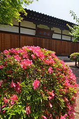 DSC_0032 (tanny ) Tags: trip blue winter red orange flower green nature rose japan season lens temple tokyo spring nikon view zoom may scene azalea 2013 gettyimagesjapan13q1