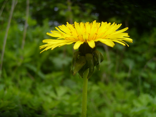 Yellow Dandilion (1)