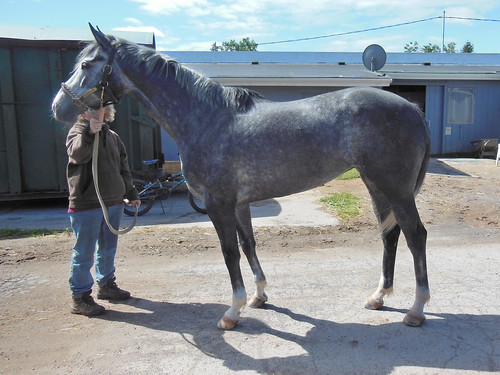 Miss Tiny Rolecks 5 Year Old 16 1 Gray Mare Finger