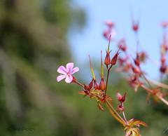 ... Me? a weed? no way! ... (jane64pics) Tags: pink flower nature beauty weed naturalbeauty herbrobert greystonescameraclub janefriel