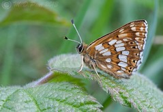 Duke of Burgundy (Hamearis lucina) (M.D.Parr) Tags: uk england english nature butterfly insect britain beds bedfordshire butterflies insects lepidoptera british dukeofburgundy 5wonderwall martindparr mdparr hamearislunina