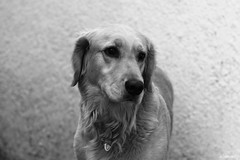 Golden Posando (altmmar89) Tags: bw dogs animal animals goldenretriever canon bn perro perros animales cachorros caninos 60d
