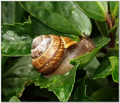 Fancy Foods is always upstairs (MaxUndFriedel) Tags: nature leaves rain weather animal animals season seasons critters misery snails wetter lanes