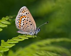 Silver-studded Blue (Greenwings Wildlife Holidays) Tags: female butterfly bracken studs greenwings plebejusargus silverstuddedblue mattberry butterflyconservation