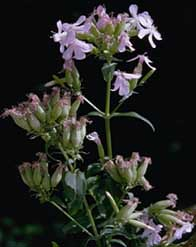 Photo - Soapwort or Bouncing Bet