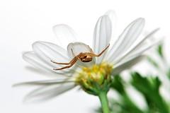 Il ragno e la margherita (luporosso) Tags: flowers naturaleza flower macro nature fleur closeup spider natura fiori ragno naturalmente thebestofday gününeniyisi nikond300s unlimitedinsectslevel1 unlimitedinsectslevel2