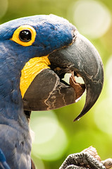 Hyacinth Macaw #2 3-0 F LR 7-14-13 J198 (sunspotimages) Tags: birds animals parrot macaw pittsburgh271413