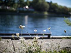 September 8th (Gogakki) Tags: toronto downtown voigtlander olympus lakeshore nokton voigtlnder omd 25mm f095 em5
