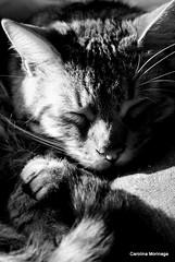 Dormilon (Hachiko_cats) Tags: bw pet cats pets cute blancoynegro animal animals cat monocromo blackwhite nikon feline gatos gato felino animales neko gatto gatti gatito monocolor catlover feliscatus nikonlens catslife lifecat