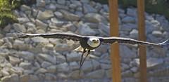 Bald Eagle (Missud) Tags: eagle adler baldeagle raubvogel birdofprey weiskopfseeadler