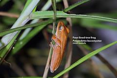 Four-lined tree frog (Polypedates leucomystax) (Zaharil) Tags: urban nature animal fauna forest southeastasia nocturnal wildlife amphibian swamp tropical biodiversity vertebrate scrubland herpetofauna peninsularmalaysia westmalaysia commontreefrog goldentreefrog openforest leastconcerniucnredlist