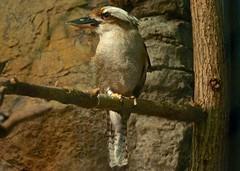 The Kookaburra (LynnF1024) Tags: bird fun zoo aperture mn duluth lakesuperiorzoo nikond90 afsvrzoomnikkor70300mmf4556gifed kookaburrasitsintheoldgumtree lynnf1024 aperturecolorefexpro kkookaburra