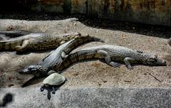 SAM_4017 (arenas.gerardo) Tags: sol grupo zoológico tortuga reptiles descanso cautiverio terreno cocodrilos parquedeleste animalessalvajes