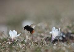 De fleur en fleur (peupleloup) Tags: france vercors printemps insecte flore