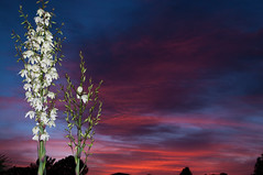 Yucca at sunset (fenicephoto) Tags: red