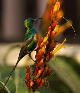 Beautiful sunbird, male