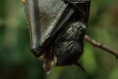 No Molestar... (juliofromero) Tags: light luz dark zoo blood bat zoolgico murcielago canont3