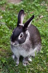 rabbit from the zoo (Dreaming Lizard) Tags: summer white black rabbit green animal zoo curves marten animalplanet