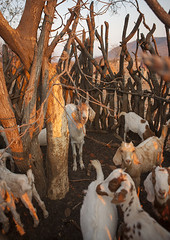 Shelter For Goats In A Traditional Himba Village, Epupa, Namibia (Eric Lafforgue) Tags: africa animal vertical fence outdoors photography day flock goat tribal afrika tradition agriculture livestock namibia herd oneperson kaokoveld himba epupa namibie damaraland realpeople colorimage cunene namibe ruacana colorpicture namibië namiibia kuneneregion colourimage africanethnicity 0941 1people ovahimba nomadicpeople colourpicture ναμίμπια ナミビア 나미비아 намибия namibya namibio นามิเบีย נמיביה 納米比亞纳米比亚 karihonavillage