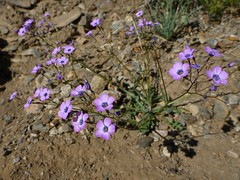 nevada gilia? (randomtruth) Tags: california deathvalleynationalpark panamintmountains inyocounty
