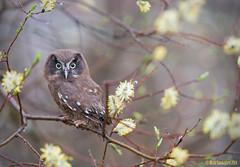 Helmipöllö (mattisj) Tags: birds aves borealowl eläimet strigiformes fåglar linnut strigidae aegoliusfunereus tengmalmsowl poikanen helmipöllö pöllöt maastopoikanen pärluggla pöllölinnut