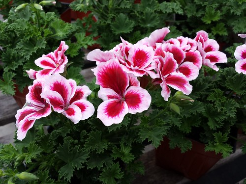 strawberry geranium  english picture dictionary imagict, Natural flower