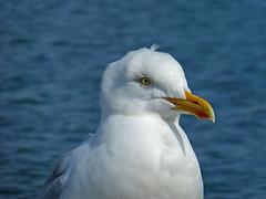 Gull (Tim Green aka atoach) Tags: cornwall falmouth