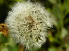 5-1-14 022 (LeeLee's pictures) Tags: 5114 mississippiriver woods nature dandelions yellow flower wildflower weeds makeawish white flyaway