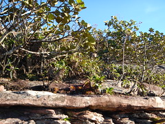 Clusia obdeltifolia (Matt Lavin) Tags: brazil habit bahia habitat lençóis chapadadiamantina clusiaceae morrodopaiinácio lenis velloziaceae vellozia clusiaobdeltifolia