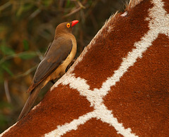 Red-billed Oxpecker (Rainbirder) Tags: kenya samburu redbilledoxpecker buphaguserythrorhynchus rainbirder